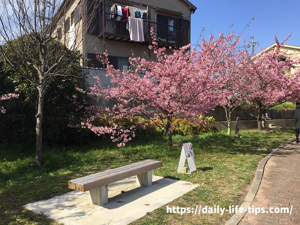 ベンチと河津桜